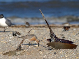 A red knot feeds on horsehsoe crabs on a Delaware Bay beach. © Bill Dalton