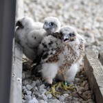 Peregrine nestlings (around 3 weeks old) are banded with federal and state bicolor alpha-numeric leg bands for future identification.  Kathy Clark, ENSP