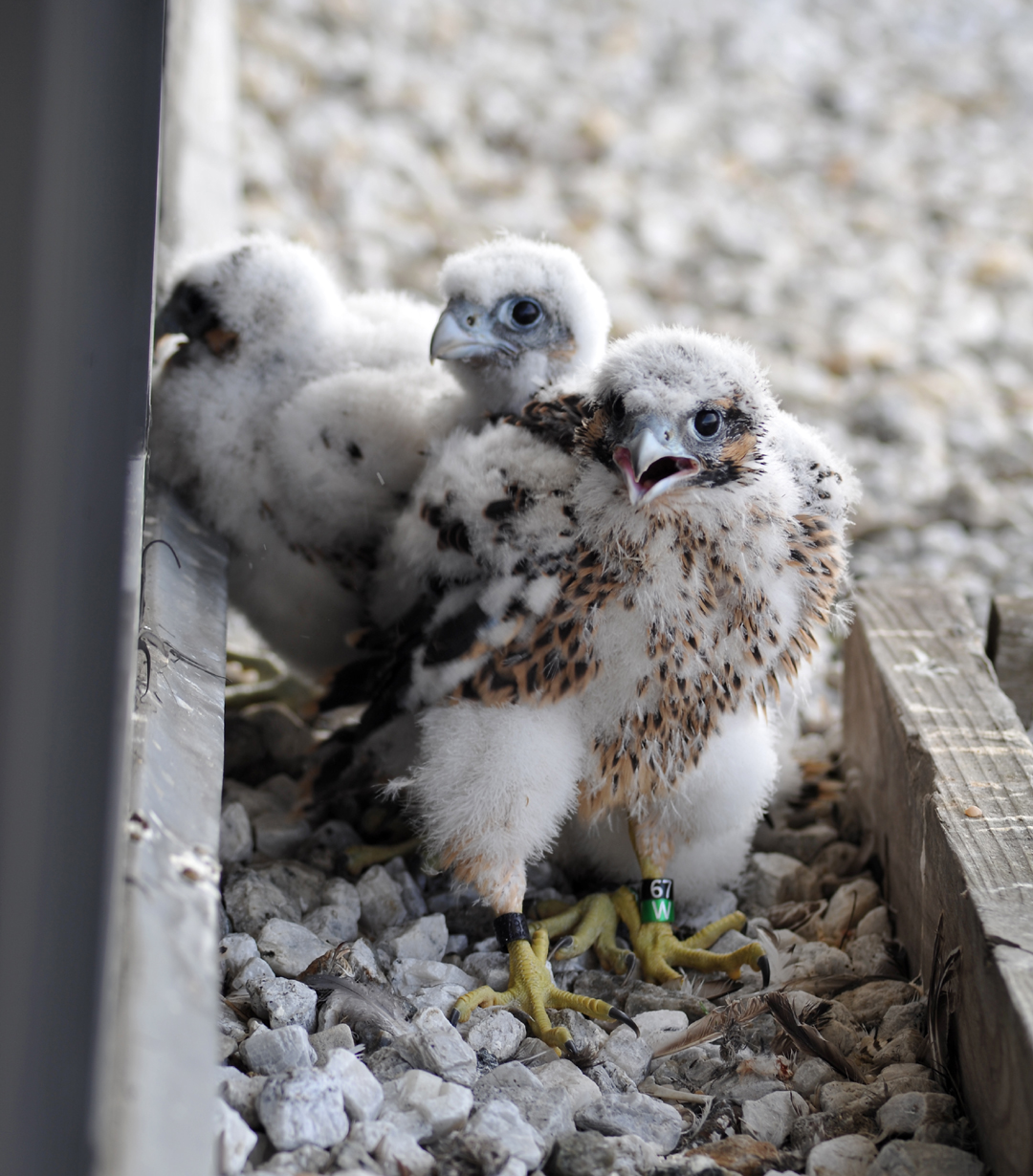 Peregrine nestlings (around 3 weeks old) are banded with federal and