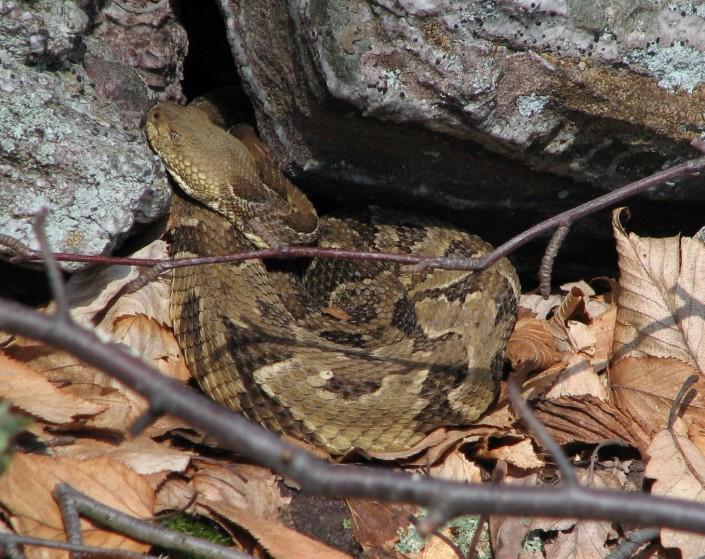 Timber Rattlesnake Habitat