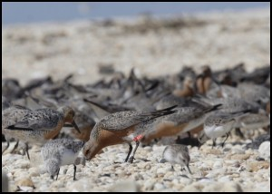 A banded red knot searches for food on a Delaware Bay beach.