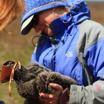 Larissa Smith holds an eaglet while it is being banded. © Ben Wurst