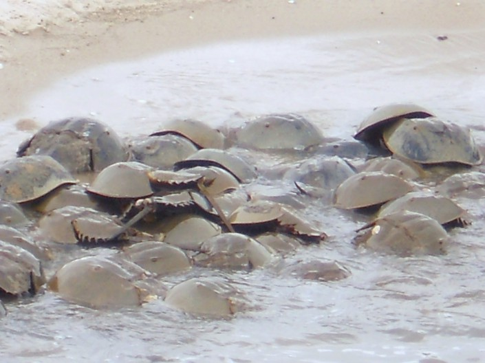 Horseshoe crabs spawning at Fortescue © Bob Bocci