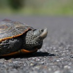 Terrapins often cross the road very quickly but when vehicles get close they usually hide within their shell. © Ben Wurst