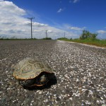 A female terrapin hides in her shell while attempting to cross Great Bay Blvd. © Ben Wurst