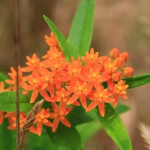 Butterfly weed in bloom. © Ben Wurst