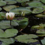 White pond lily in bloom. © Ben Wurst