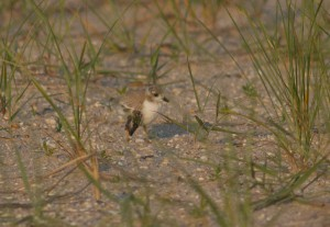 Piping Plover with Injured Wing at Cape May Point State Park