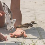 Rehabbed Piping Plover Ready for Release 