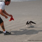 This Black Skimmer had become entangled near Seaview Harbor Marina and was found by photographer Nick Kontonicolas (www.1000birds.com) and I during a routine colony check during nesting season.  Nick helped with the removal of the entangling line and snapped this photo as I released the ruffled but uninjured bird and it flew back in to the colony.
