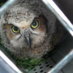 I transported this injured owl to Cedar Run Wildlife Refuge and Rehabilitation Center in Medford, NJ, for evaluation and treatment.