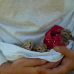 These 3 gull chicks came from 2 different nests.  I used my bandana to keep track of who goes back to which nest.