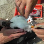 NJ Oystercatchers are marked with orange alphanumeric-coded bands that can be read though a spotting scope from a distance.