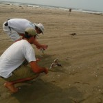 Zac Anglin of the New Jersey Division of Fish and Wildlife and I release a pair of pre-fledge American Oystercatchers back to their parents after data collection and banding in Avalon, NJ.