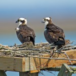 Osprey pair in nest platform repaired by CWF staff in early 2012. © Brian Kushner