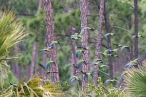 Flock of Bahama Parrots in Flight on Abaco.  Tom Reed