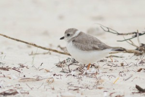 Piping Plover on Wintering Grounds, Green Turtle Cay, Abaco, The Bahamas. © Tom Reed