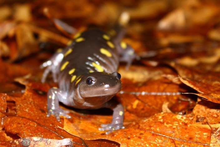 A spotted salamander, photographed during a quiet moment along the road shoulder.  © Brett Klaproth