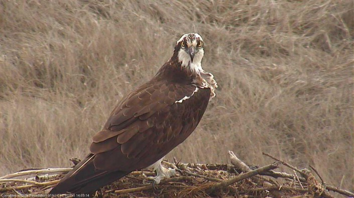 Female osprey at nest #2835