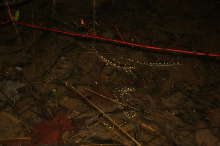 They made it!  Spotted salamanders in the pool.  Photo: M. Hall