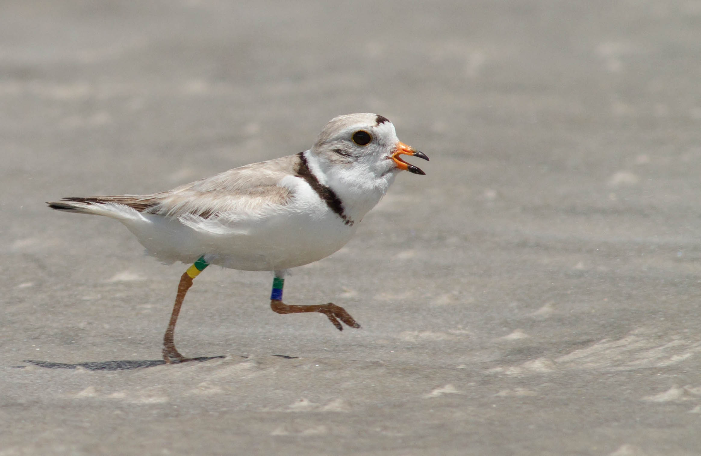 Banded Piping Plover at Stone Harbor Point, NJ.