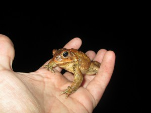 American toad in transit.  Photo: Karen Ruzycki