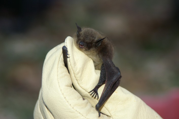 Little brown bat thumbhugger