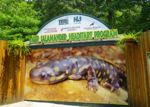 Eastern tiger salamander Headstart Program at Cape May County Zoo