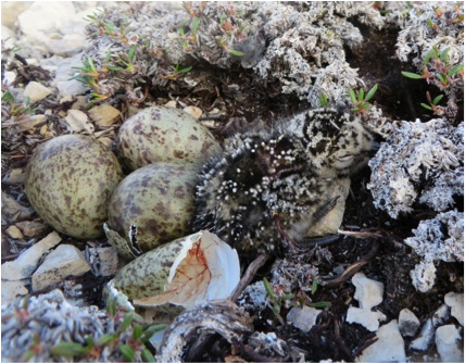 The first nest we found had one hatched chick, so fresh you can still see the embryonic material in the shell.