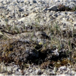 A knot incubates her eggs on a small patch of vegetation.