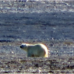 We saw our first ( and last ) polar bear on the final day of the trip.  When it saw us coming his way, he slowly lumbered off in the opposite direction, posing no threat.