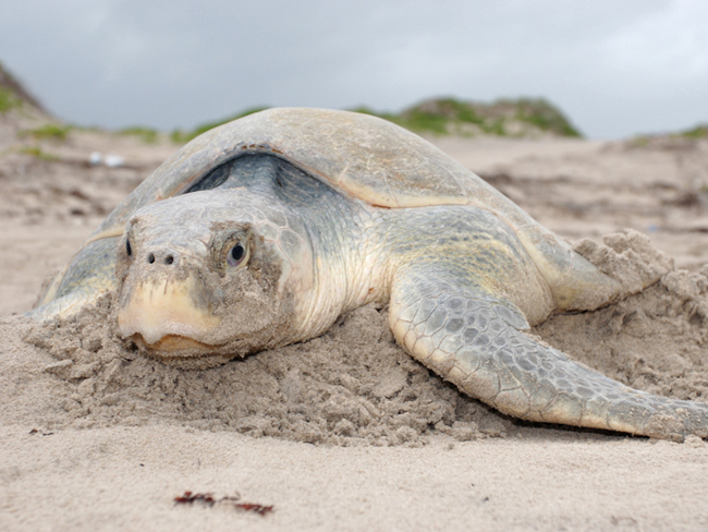 Kemp's Ridley sea turtle listed an federally  endangered in 1970 (photo Seth Patterson)