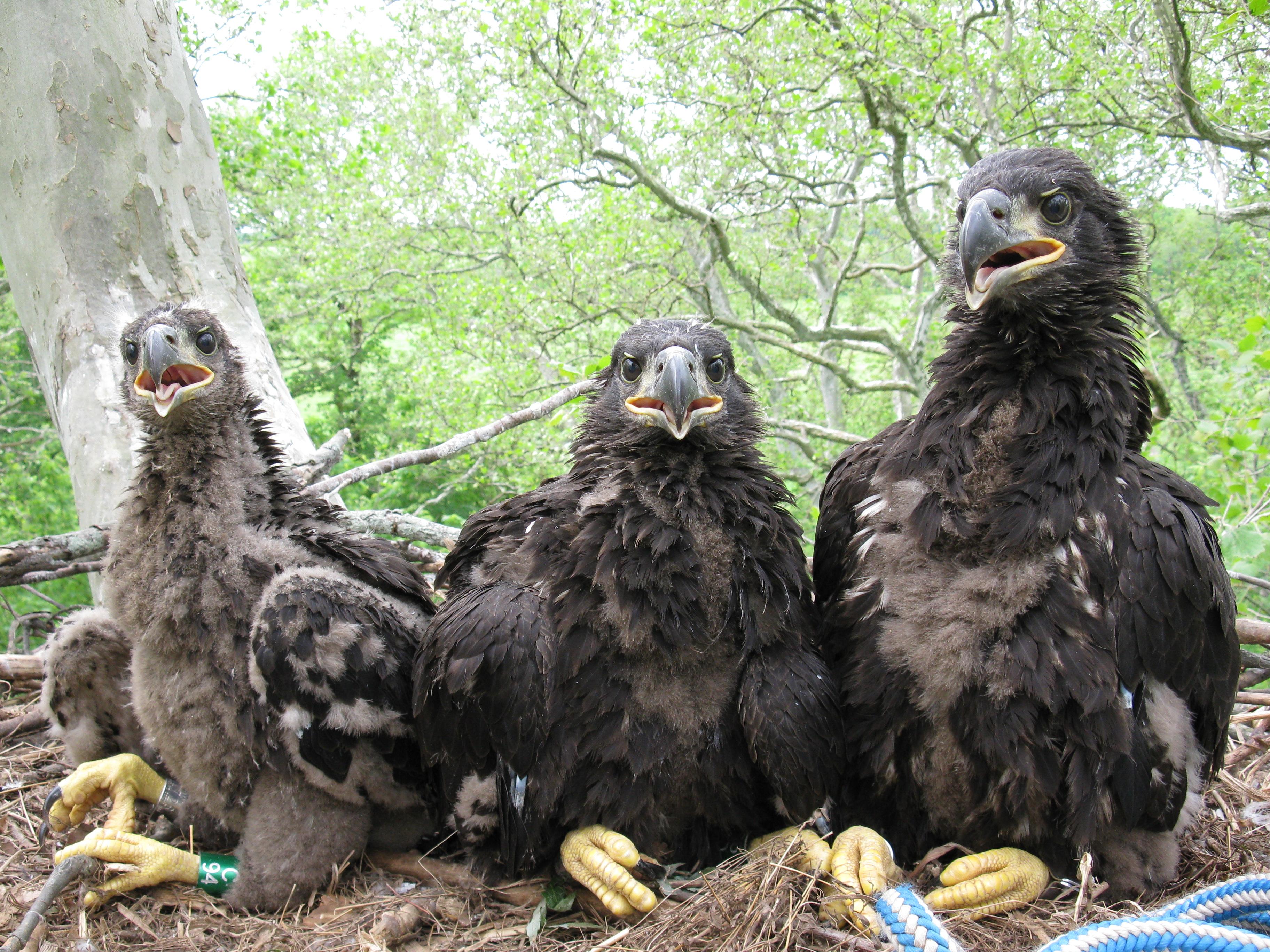 Duke Farms Eagle Duke Farms 2009 Eagle Chick