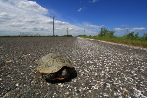 Female terrapin on Great Bay Blvd. © Ben Wurst