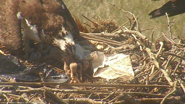 The first two eggs hatched on May 29th, and the third on June 1.