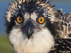 Osprey close up (c) Eric Sambol