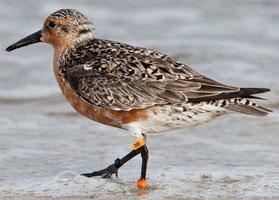 Iconic Red knot shorebird B95