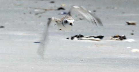 Plover populations at Malibu Beach in Egg Harbor Township are near a record-low this year due to predation, recreation activities and habitat loss. (c) Edward Lea