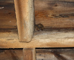 Bats in Tranquility Church attic