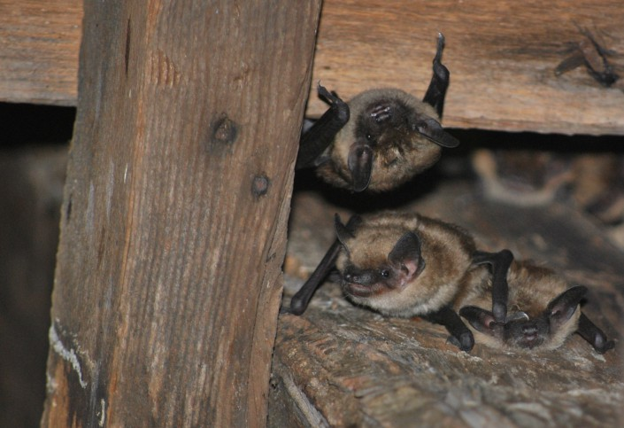 Big Brown Bats (c) Phil Wooldridge