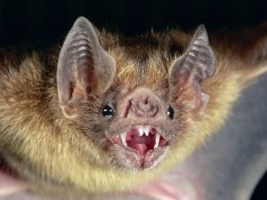 Vampire bat photo credit: National Geographic