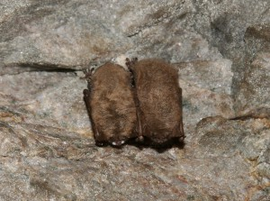 White-nose syndrome on hibernating bats