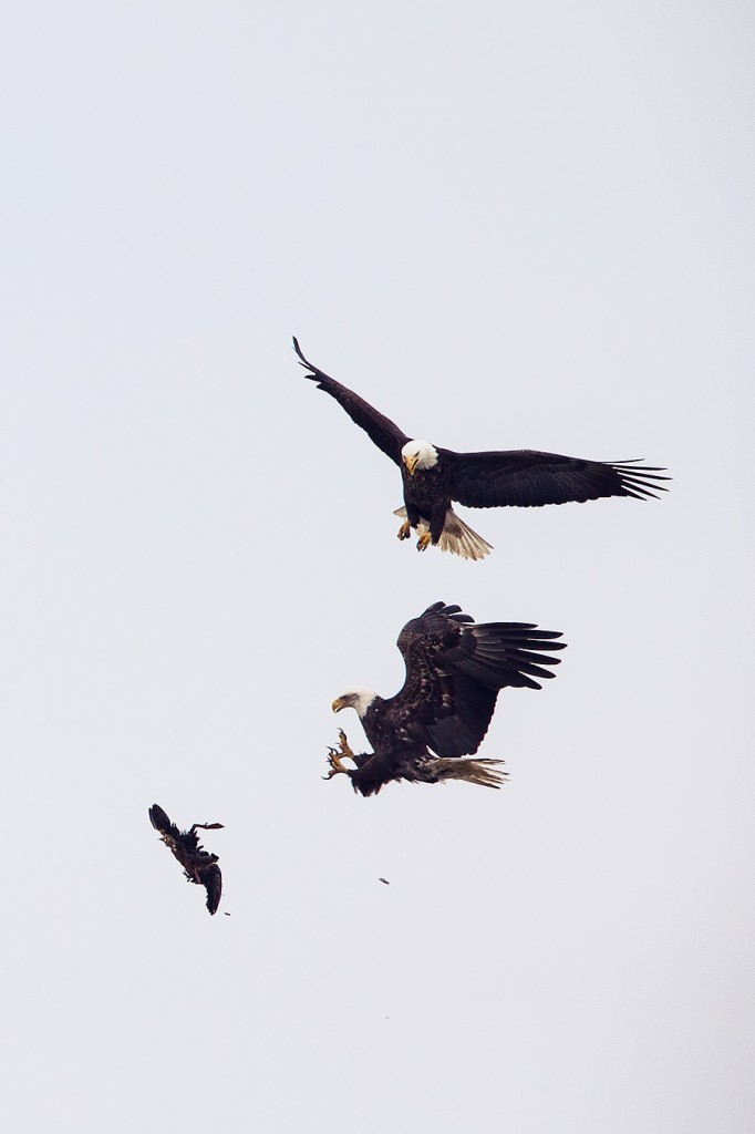Eagles fight over duck at LBI @ Readings From the Northside
