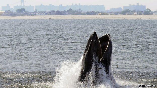 Humpback Whale feeding off New York City's Rockaway Peninsula. Photo Credit: BBC News