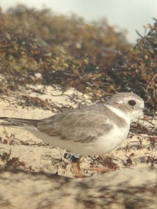 """Black Flag """"K2"""", a Canadian breeder and one of six color marked piping plovers observed on wintering grounds on Abaco, The Bahamas, this past week by CWFNJ's Todd Pover and Stephanie Egger."""