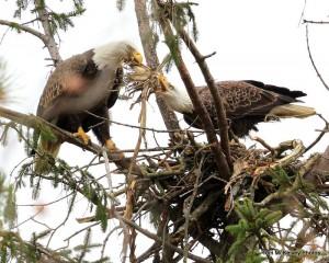 Shark River eagle pair preparing nest @ Tom McKelvey