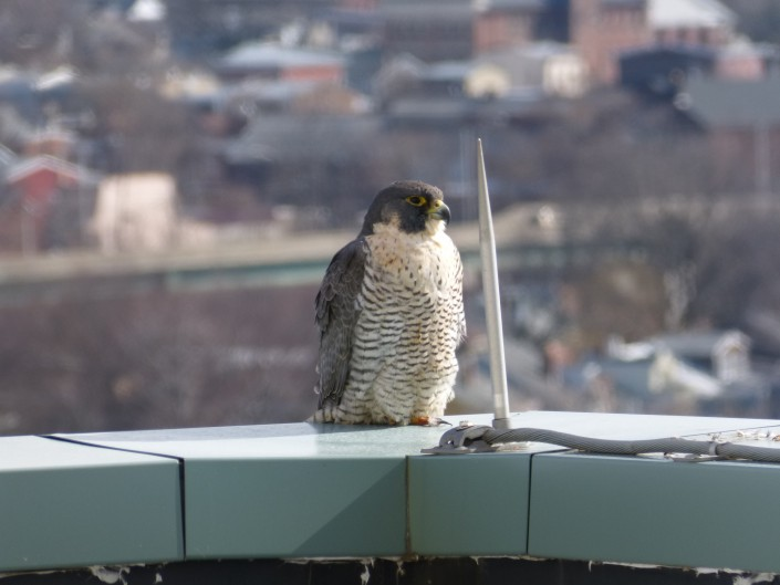 When we got here a female peregrine falcon was perched on the ledge of the 10th floor roof! © Jean Bickal
