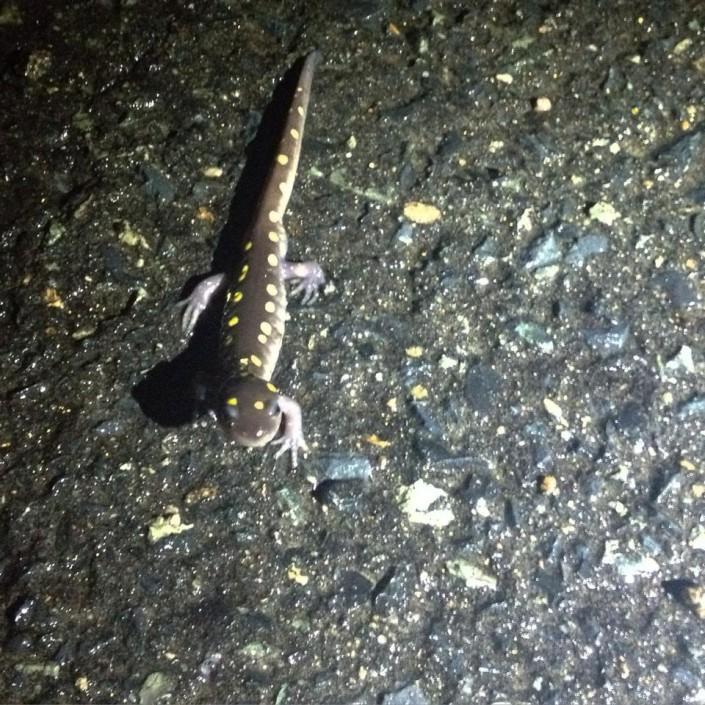 Yellow Spotted Salamander © Lindsay McNamara