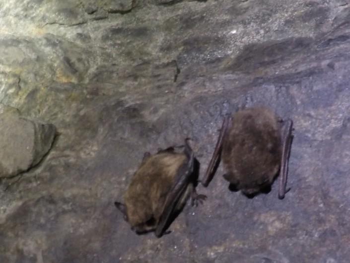 Little Brown Bats (c) Stephanie Feigin