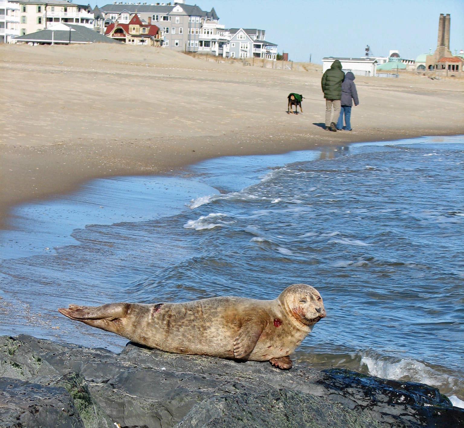 Harbor Seals in New Jersey